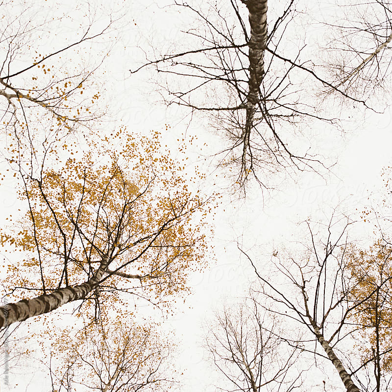 Looking up between birch trees a bright autumn day by Atle Rønningen for Stocksy United