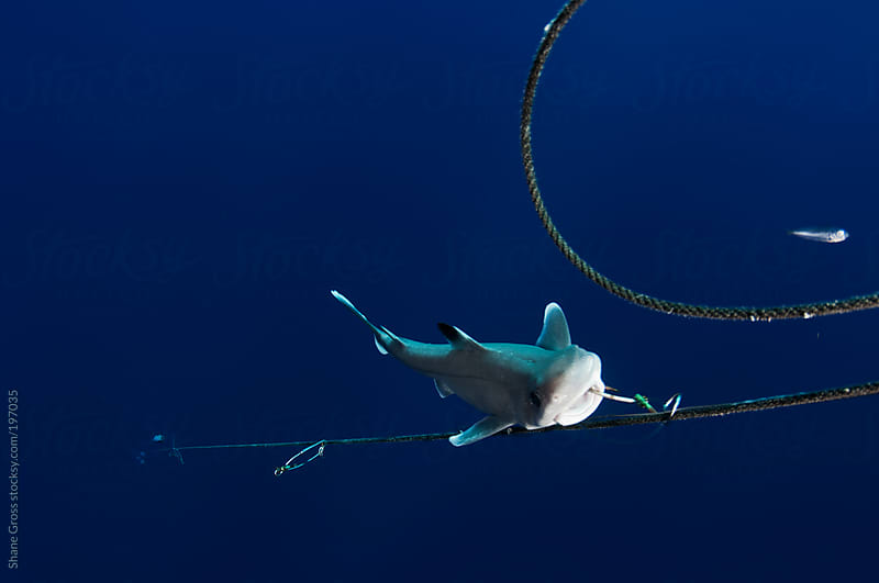 Shark on long line hook by Shane Gross for Stocksy United