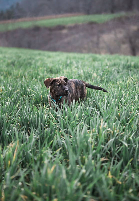 Young pet dog walking alone in tall grass by Matthew Spaulding for Stocksy United