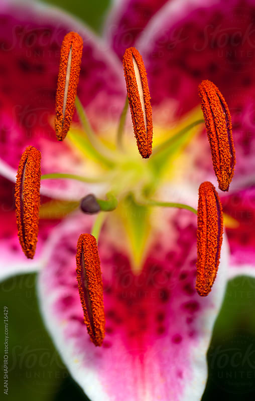 extreme close up of color lily by alan shapiro for Stocksy United