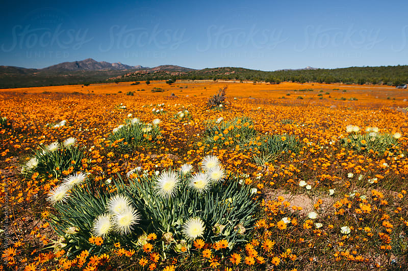 Namaqualand wild flowers by Micky Wiswedel for Stocksy United