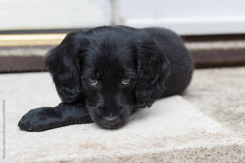 Young adorable black puppy  by Rebecca Spencer for Stocksy United