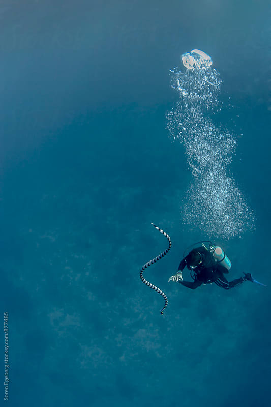 Scuba diver swimming underwater with seasnake by Soren Egeberg for Stocksy United