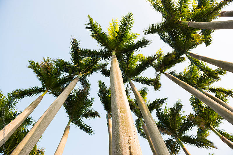 Grove of tropical palm trees under a sunny sky by Lawren Lu for Stocksy United