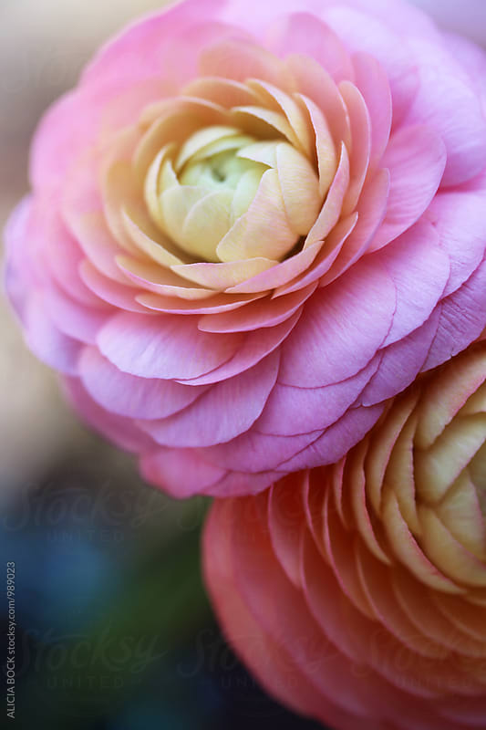 Two Vibrant Pink Ranunculus Flowers  by ALICIA BOCK for Stocksy United