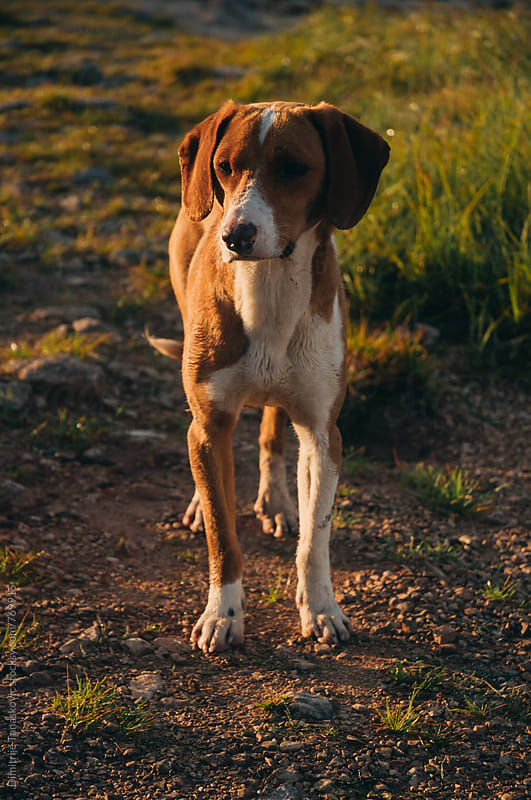 Dog standing in the field, lit with morning sun by Dimitrije Tanaskovic for Stocksy United