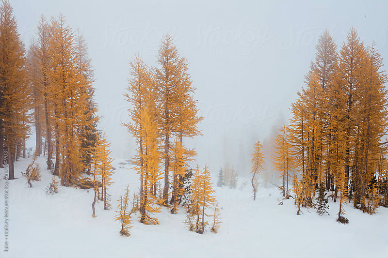 Larch Trees by luke + mallory leasure for Stocksy United