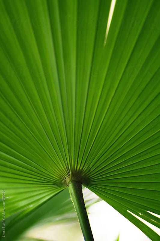 Close-up of green Palm leaf on the tree by Laura Stolfi for Stocksy United