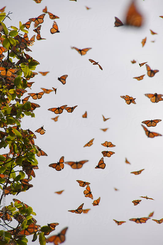 Monarch butterflies in a swarm by Per Swantesson for Stocksy United