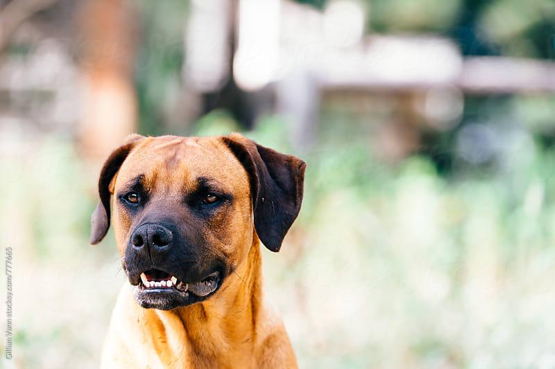 manacing looking dog by Gillian Vann for Stocksy United