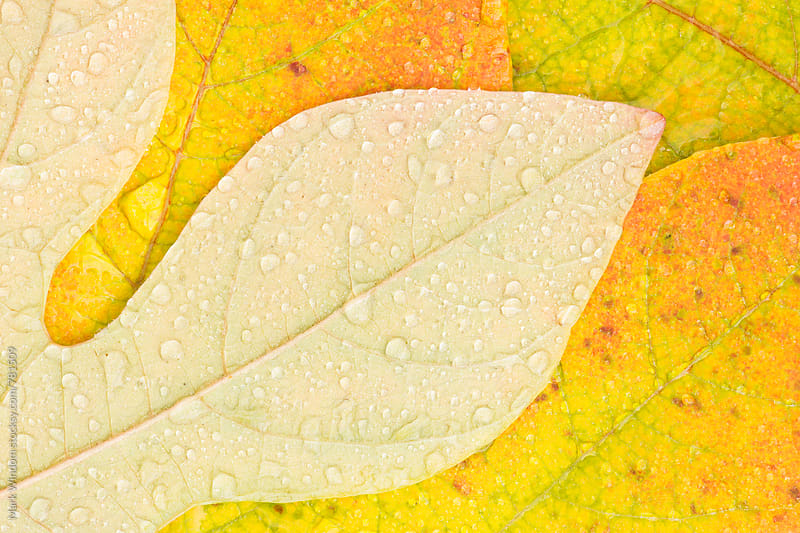 Raindrops on Wood rose leaves, closeup by Mark Windom for Stocksy United