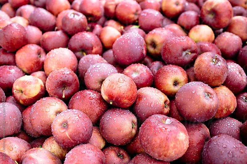 Freshly picked apples by luke + mallory leasure for Stocksy United