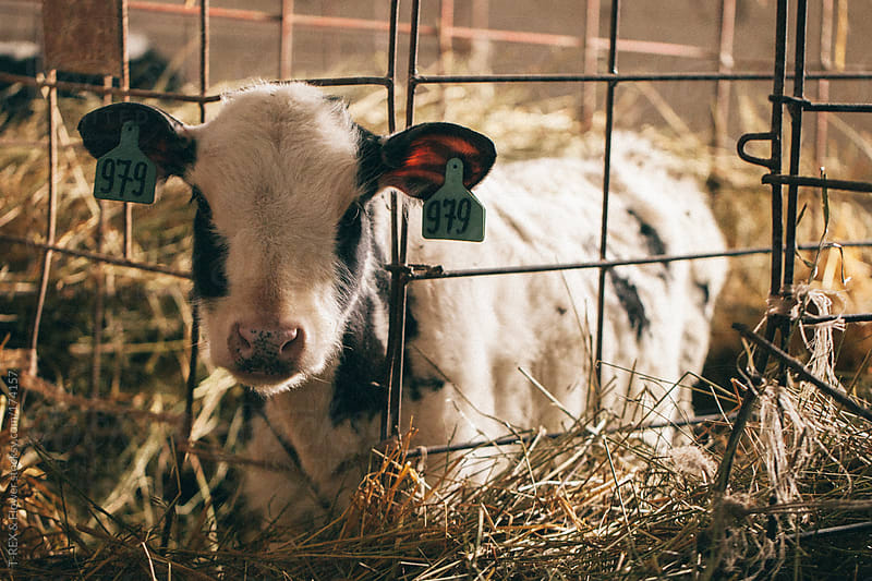 Little calf in the cage by Danil Nevsky for Stocksy United