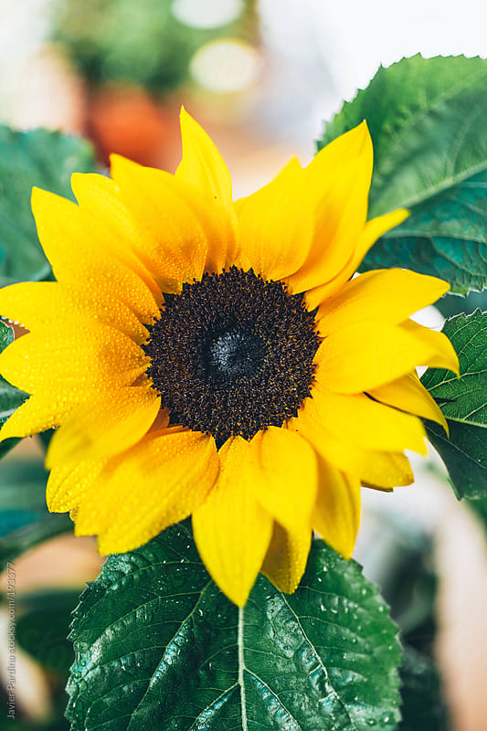 portrait of a sunflower by Javier Pardina for Stocksy United