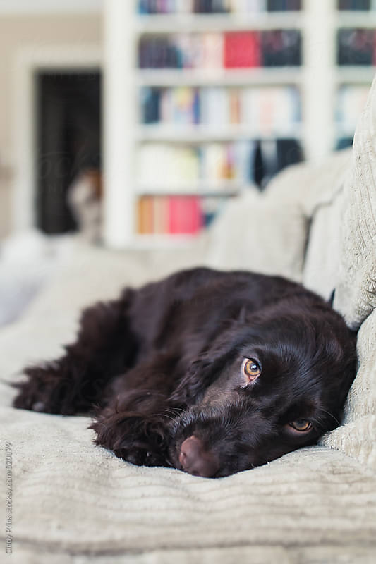 Dark brown English Cocker Spaniel puppy lying on the sofa by Cindy Prins for Stocksy United