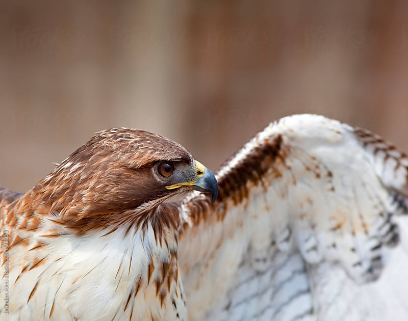 Red Tailed Hawk Closeup Spreading Wings by Brandon Alms for Stocksy United