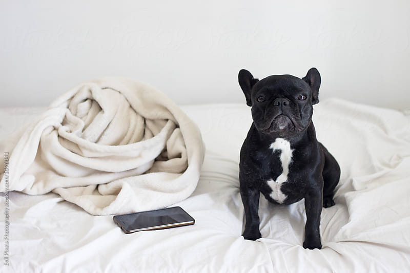 French bulldog posing on the bed near mobile and blancket by Evil Pixels Photography for Stocksy United