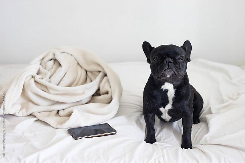 French bulldog posing on the bed near mobile and blancket by Branislava Živić for Stocksy United
