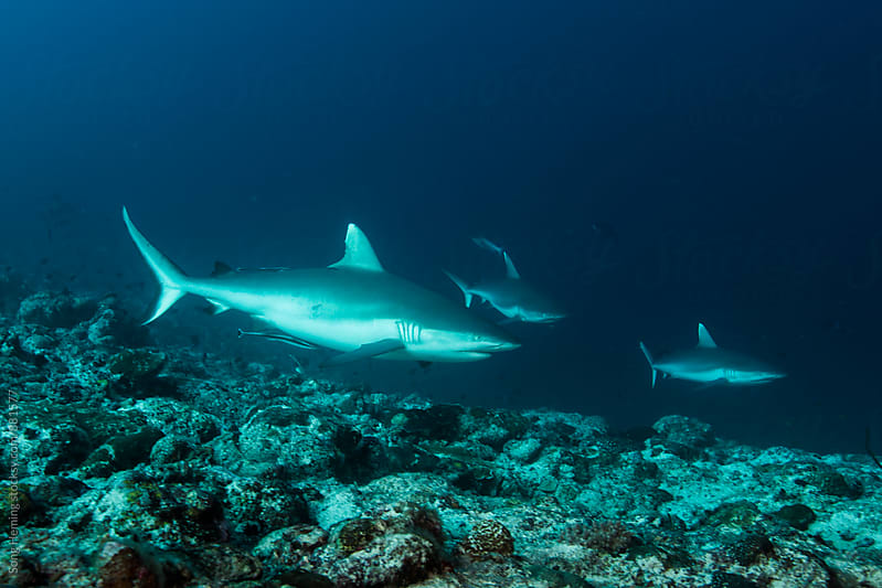 Grey reef shark by Song Heming for Stocksy United