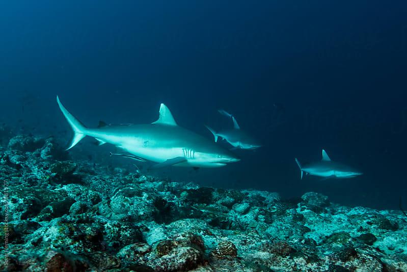 Grey reef shark by Song Heming for Stocksy United