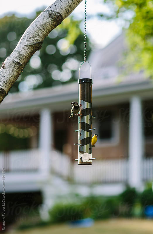 Goldfinch on a Feeder by Raymond Forbes LLC for Stocksy United