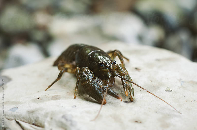 River crayfish on a rock by Branislav Jovanović for Stocksy United