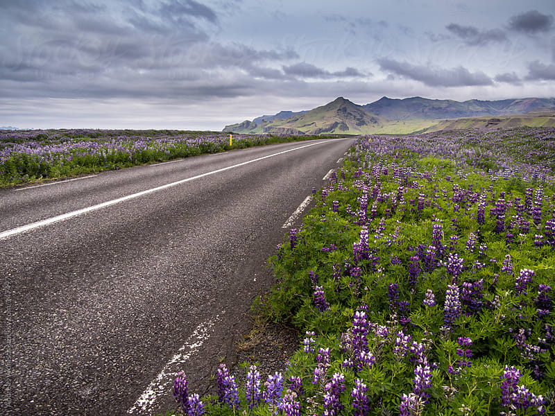 Road leading through landscape with lupines in Iceland by Andreas Wonisch for Stocksy United