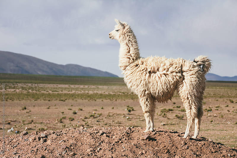 Llama or lama standing on desert landscape. Peru travel image by Alejandro Moreno de Carlos for Stocksy United