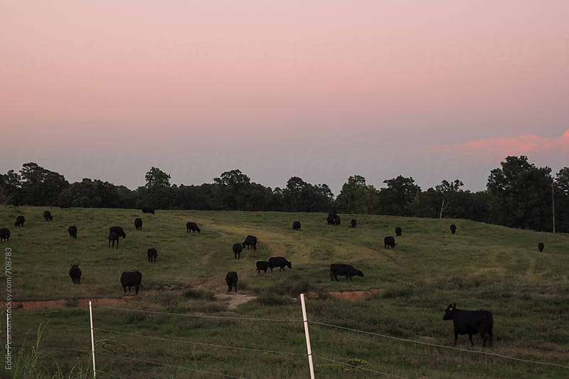 Field of bulls and cows in the country by Eddie Pearson for Stocksy United
