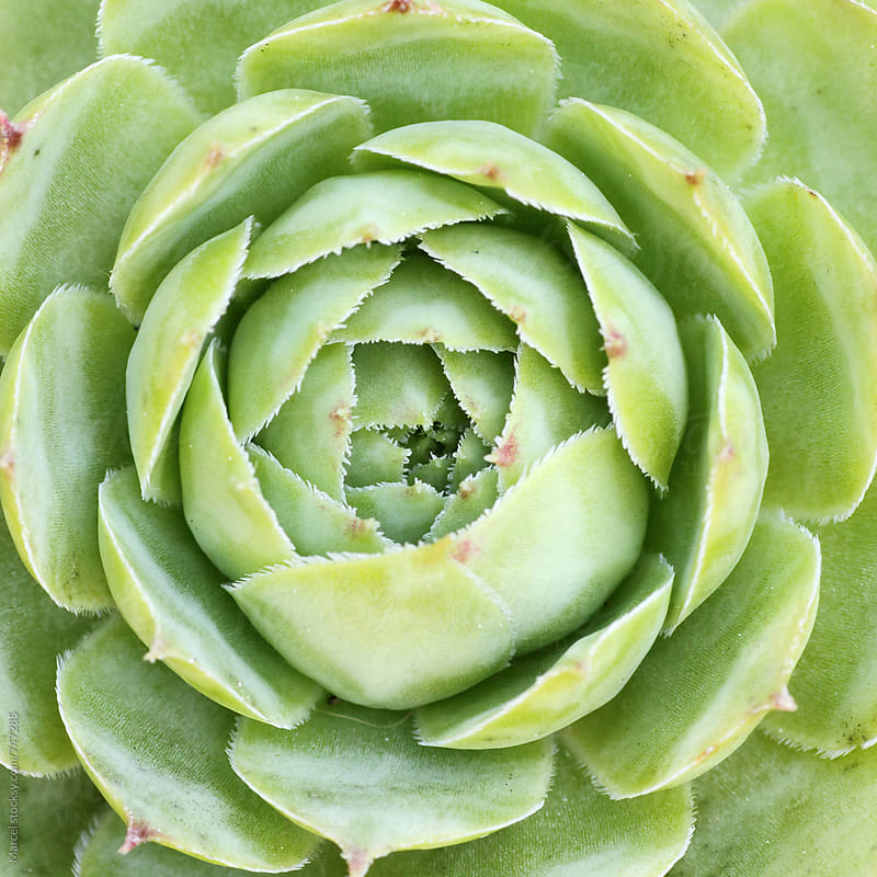 sempervivum succulent macro by Marcel for Stocksy United