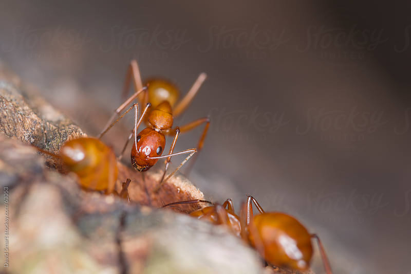 Ant looks on as two others feed on tree sap by David Smart for Stocksy United