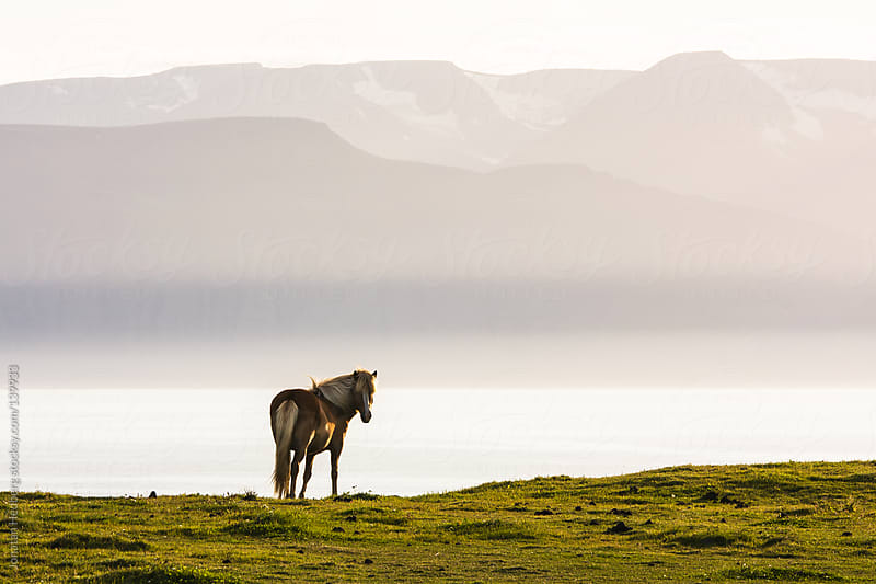 An icelandic horse in the evening sun by Jonatan Hedberg for Stocksy United