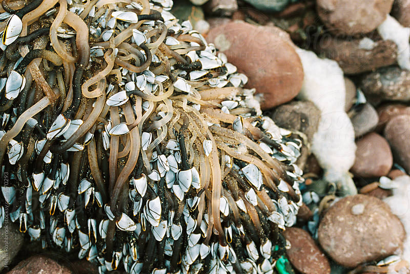 Goose barnacles by Helen Rushbrook for Stocksy United