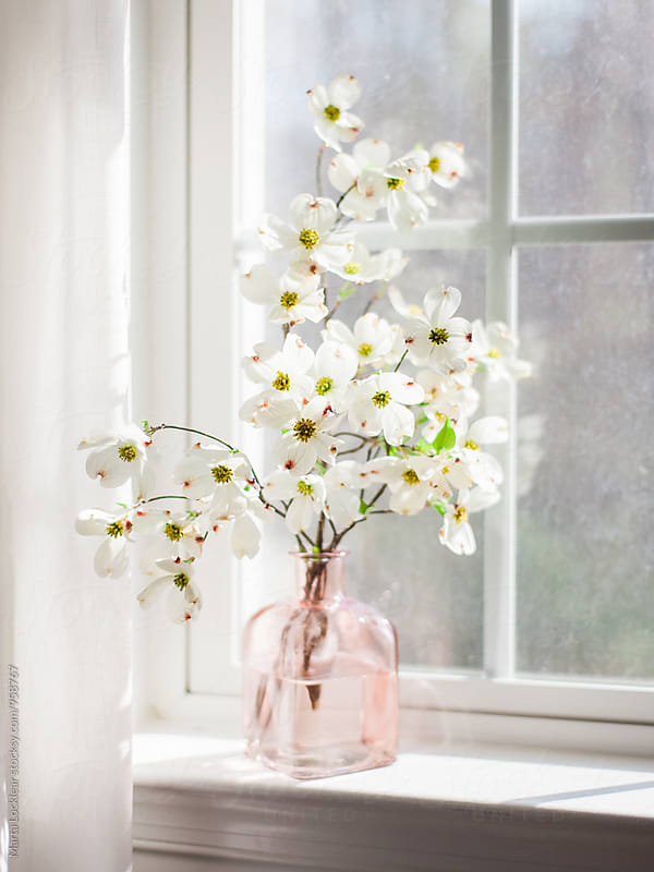 Dogwood blossoms in window light by Marta Locklear for Stocksy United
