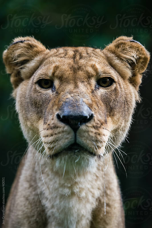 Lioness by Jen Grantham for Stocksy United