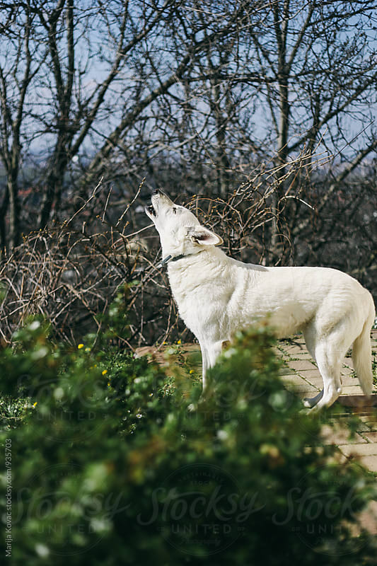 White dog howling by Marija Kovac for Stocksy United
