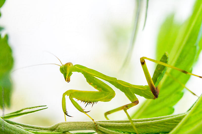 Praying Mantis looking at camera by ACALU Studio for Stocksy United