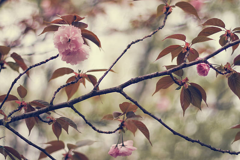 Pink blossoms on cherry tree in spring by Kerry Murphy for Stocksy United