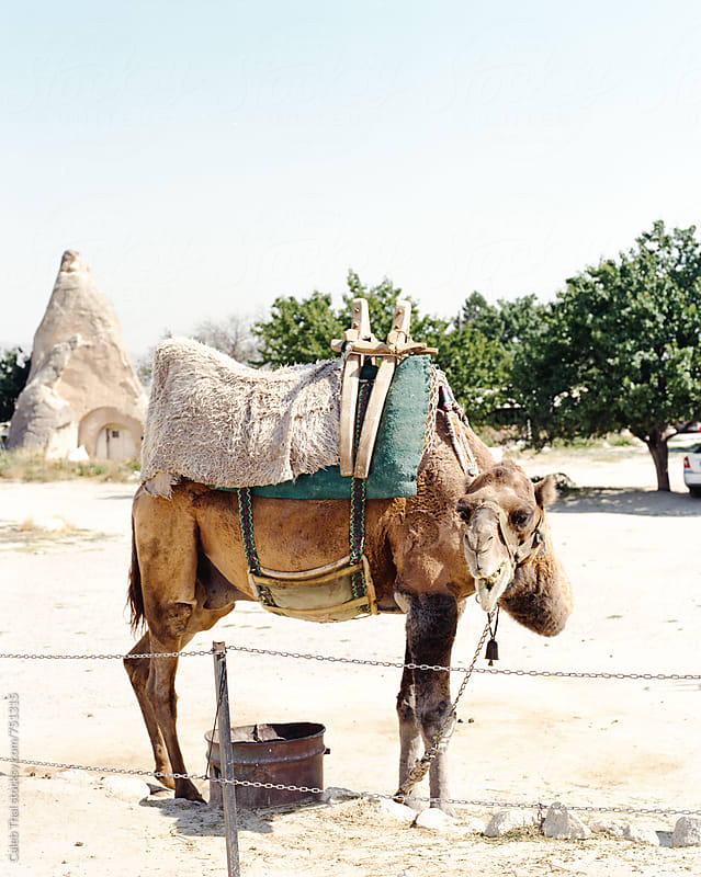 A Camel Shot on Film by Caleb Thal for Stocksy United