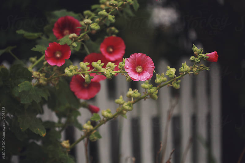Summer Hollyhocks after the Rain by ALICIA BOCK for Stocksy United