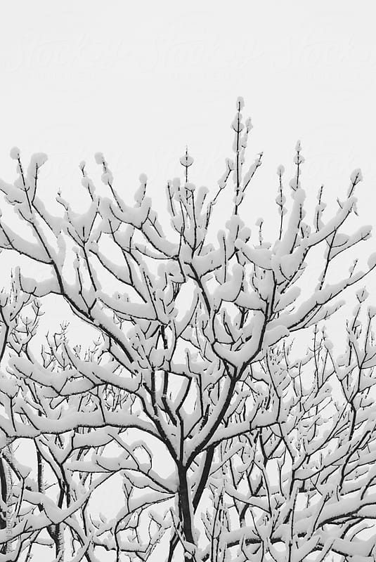 Branches with snow by Pixel Stories for Stocksy United