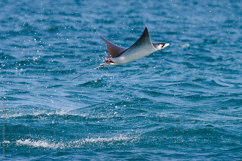 mobula ray leaping out of water by Cameron Zegers for Stocksy United