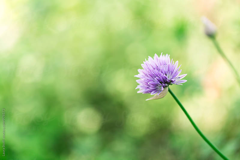 Fresh chives flowering on the plant in spring herbal garden by Laura Stolfi for Stocksy United