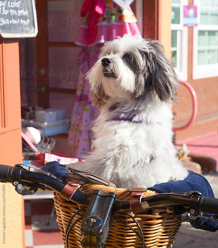Cute little dog sitting in the basket of a bike by Carolyn Lagattuta for Stocksy United