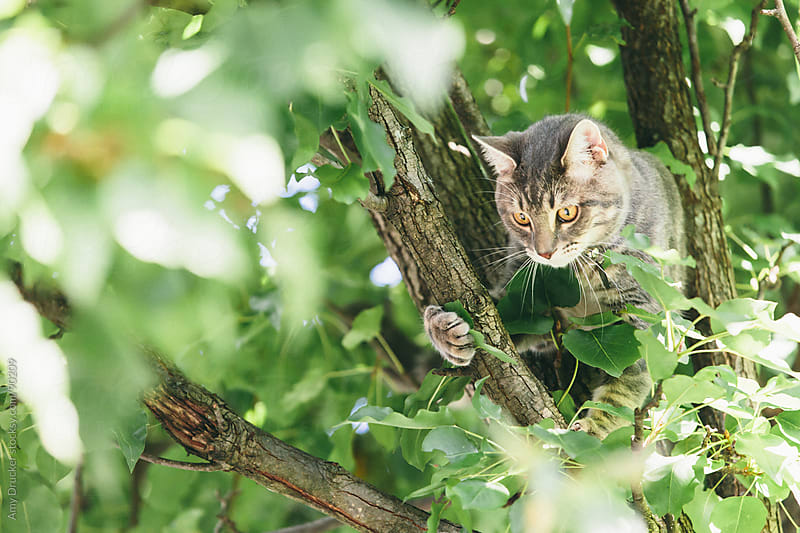 Grey Cat in a Tree by Amy Drucker for Stocksy United