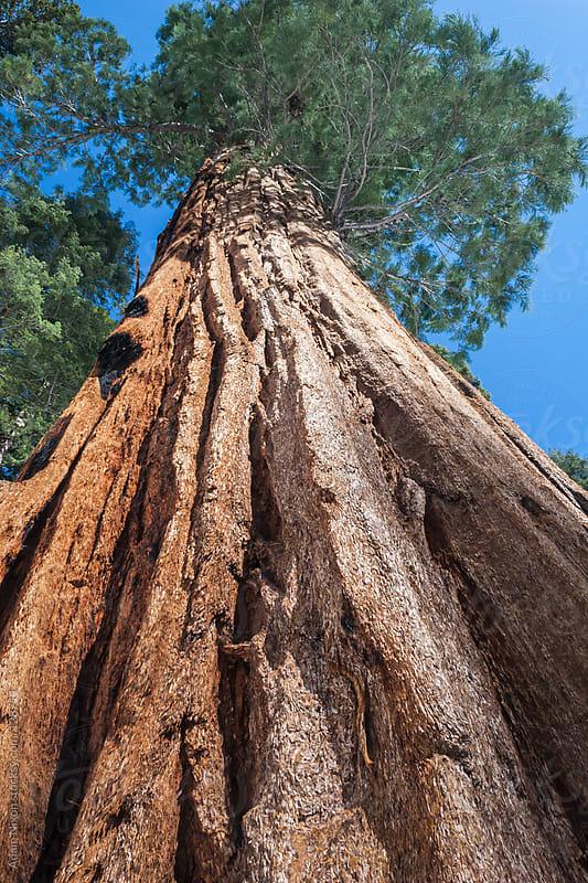 Giant Sequoia Tree by Adam Nixon for Stocksy United