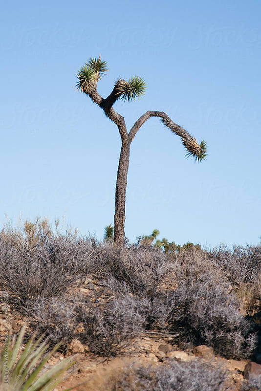Joshua Tree National Park, California lone tree  by Jeremy Pawlowski for Stocksy United