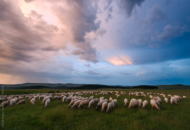 Herd of Sheep Grazing at dusk  by RG&B Images for Stocksy United
