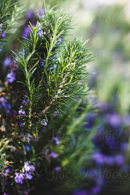 Closeup of Rosemary branches and blooms. by Holly Clark for Stocksy United