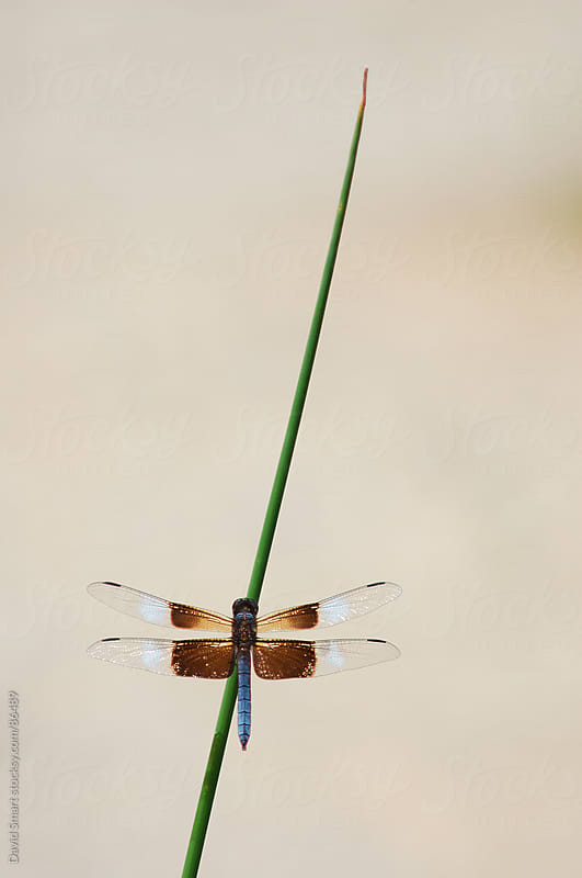 Widow Skimmer dragonfly on a reed by David Smart for Stocksy United